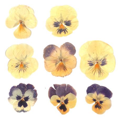 Ingedrukt en gedroogde knoppen bloem van pansies. Geïsoleerd op witte achtergrond Voor gebruik bij scrapbooking, bloemisterij (oshibana) of herbarium. Stockfoto - 71163485