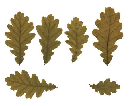 Pressed and dried buds oak leaves. Isolated on white background. For use in scrapbooking, floristry (oshibana) or herbarium.