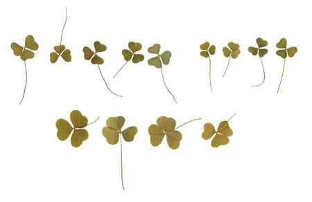 누르면 및 말린 꽃 봉 오리 클로버. 흰색 배경에 고립. scrapbooking, floristry (oshibana) 또는 식물 표본 상자에서 사용하십시오.