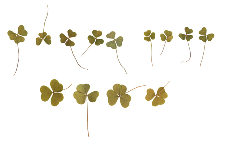 Pressed and dried buds clover. Isolated on white background. For use in scrapbooking, floristry (oshibana) or herbarium.