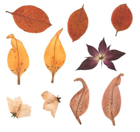 누르면 및 말린 꽃 봉 오리, 단풍, 백합 꽃잎. 흰색 배경에 고립. scrapbooking, floristry (oshibana) 또는 식물 표본 상자에서 사용하십시오.
