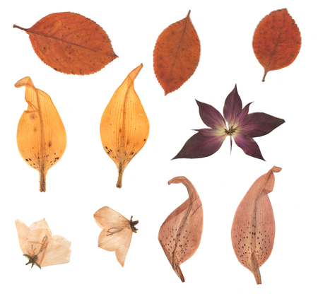 Pressed and dried buds flower, autumn leaves, lily petals. Isolated on white background. For use in scrapbooking, floristry (oshibana) or herbarium. Stockfoto