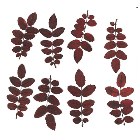 Pressed and dried wild rose leaves. Isolated on white background. For use in scrapbooking, floristry (oshibana) or herbarium. Stockfoto