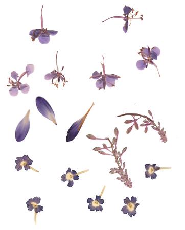 Geperste en gedroogde knoppen bloem, krokusblaadjes. Geïsoleerd op een witte achtergrond. Voor gebruik bij scrapbooking, bloemisten (oshibana) of herbarium. Stockfoto - 73671493