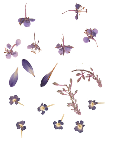 Pressed and dried buds flower, crocus petals. Isolated on white background. For use in scrapbooking, floristry (oshibana) or herbarium.