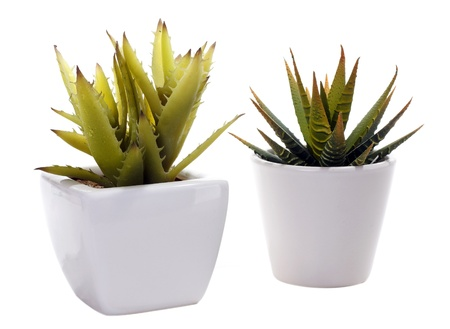Two aloe vera, cactus, in white porcelain pots, isolated on white background photo