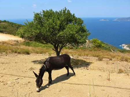 A greek donkey is eating against a lonely tree and the aegean sea at Alonisos of Greece Stock Photo - 15097054
