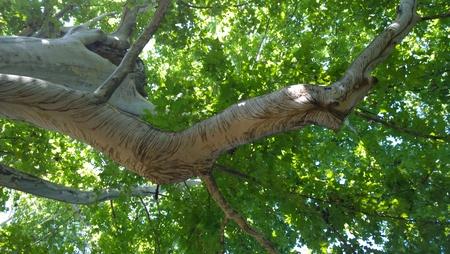 masiv tree Stock Photo