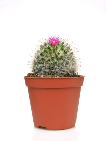 Blossoming cactus in a pot on white background. Studio shot photo