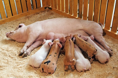Momma pig feeding hungry little piglets photo