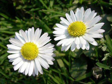 2 つの花ヒナギクまたはヒナギクとして知られている alsow という名前 写真素材