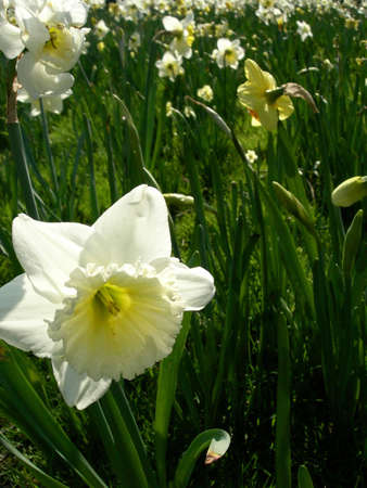 Close up of an Narcissus field with shallow DOF