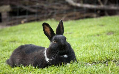 ふれあい動物園から黒いリラックスしたウサギ