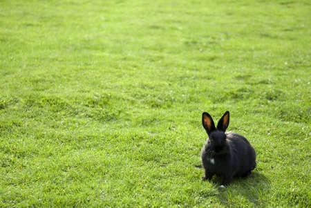 A Black Rabbit inside a green field... Stock Photo