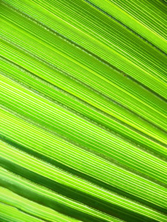 Exotic abstraction of some Backlit Palm Leaves  photo