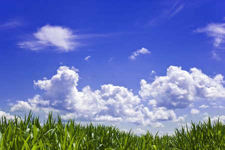 白い雲と青い空を背景のトウモロコシ畑.