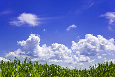 A cornfield against a blue sky with white clouds...