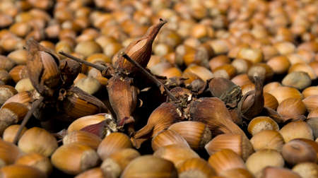Some hazelnuts held in a short leafy husk inside a pile of peeled hazels... photo