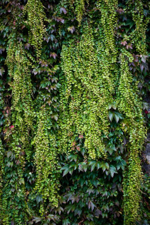 green wall: Colorful autumn Ivy leaves growing on a wall Stock Photo