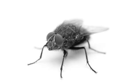 A fly, isolated on a clean white background. Stock Photo