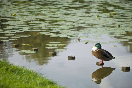 A mallard duck resting and bathing in the sun