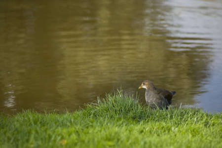 A Eurasian Coot searching for food in the riverbank
