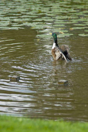 A mallard duck, stretching and flapping his wings