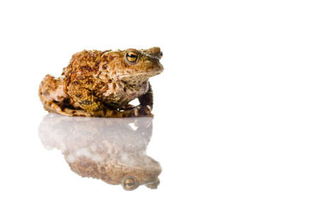 A Toad on a white reflective surface