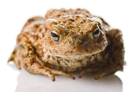 A Toad on a white reflective surface Stock Photo - 4679608
