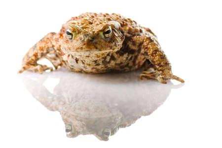 白い反射面の上のヒキガエル