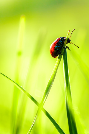 A Scarlet lily beetle macro inside some grass Stock Photo