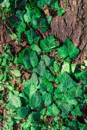 beautiful background, green bindweed on tree bark Imagens