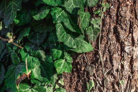 beautiful background, green bindweed on tree bark