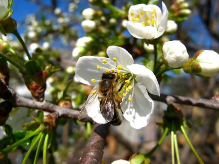 A bee gathering pollen on white Cherry Blossoms