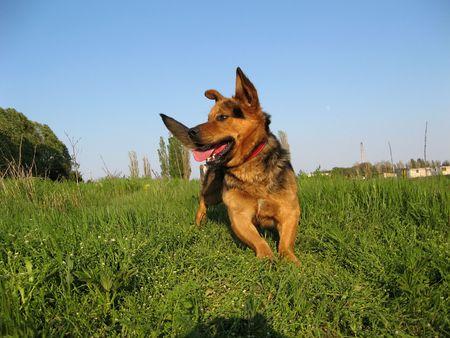 portrait of a doberman running in a field Stock Photo