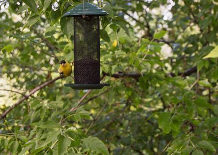 finch: Yellow Finch in Michigan