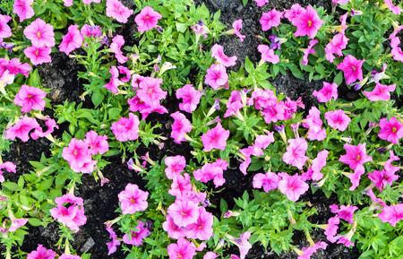 Petunia garden in Flower Festival yearly on december at Suanluang RAMA IX Bangkok Thailand.