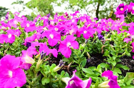 Garden of petunia in Flower Festival yearly on december at Suanluang RAMA IX Bangkok Thailand.