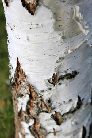 bark peeling from tree: Texture of birch bark, background with a white birch tree.