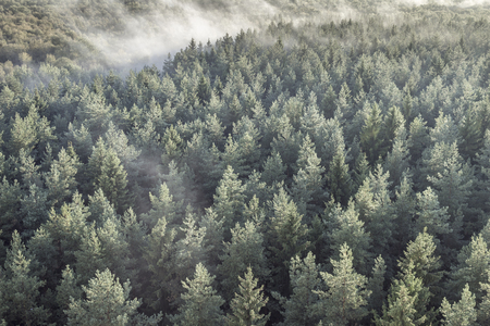 Panoramic view of misty coniferous wood forest in retro, vintage style. Foggy landscape with green spruces.