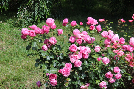 Rose bush, beautiful pink roses in a garden.