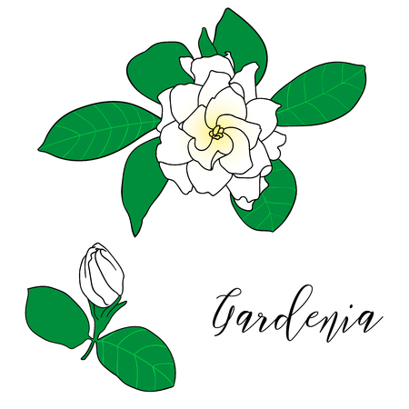 Gardenia jasminoides, cape jasmine, danh-danh. Hand drawn botanical vector illustration. Decoration for cards, wedding invitations, tropical design
