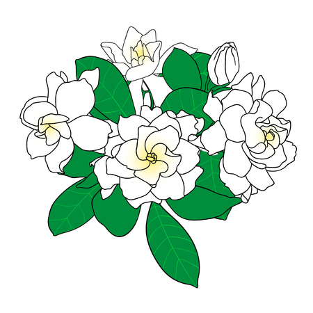 Bouquet of Gardenia jasminoides, cape jasmine, danh-danh. Hand drawn botanical vector illustration. Decoration for cards, wedding invitations, tropical design. Illustration