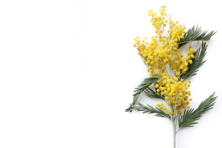 Mimosa flowers isolated on white background. Blank space for text
