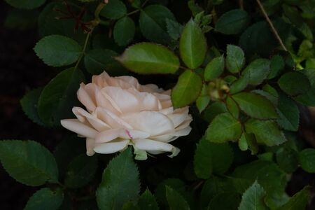 Beautiful cream rose in the garden, close-up on dark leaves background