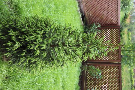 Young green spruce, Christmas tree in the garden in spring