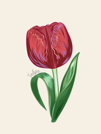 Hand drawn red tulip, vector illustration in vintage style