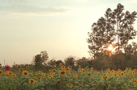 View of a rural countryside Sunflower farm, with a plantation field next to a forest and bright orange sunset shining through the forest trees