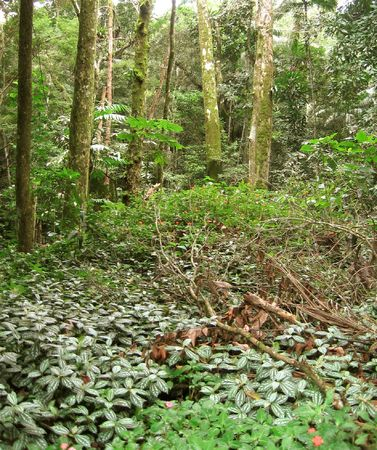A patch of tropical forest at Rio de Janeiros Tijuca National Park, the largest urban forest in the world. The Tijuca Forest is home to hundreds of species of plants and wildlife, some of which are found only in the Brazilian Atlantic Rainforest.