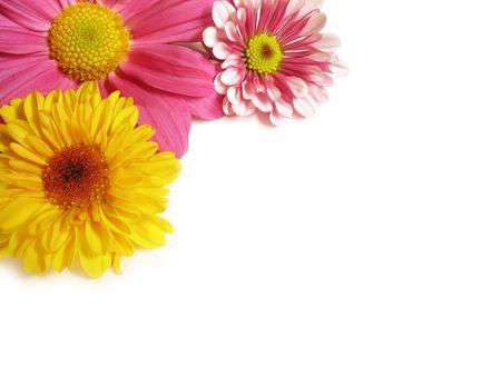 A close-up di immagine colorata Crisantemi, impostato su un angolo, con le naturali ombre su sfondo bianco, con copia-spazio.